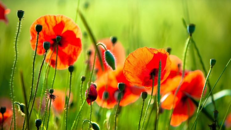 Beau Coquelicots