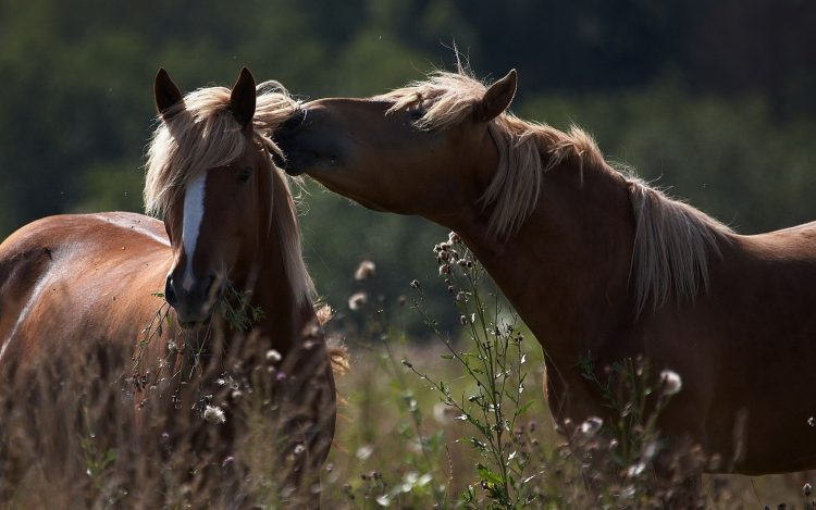 Chevaux Caring Couple Champ Herbe Tender Shade
