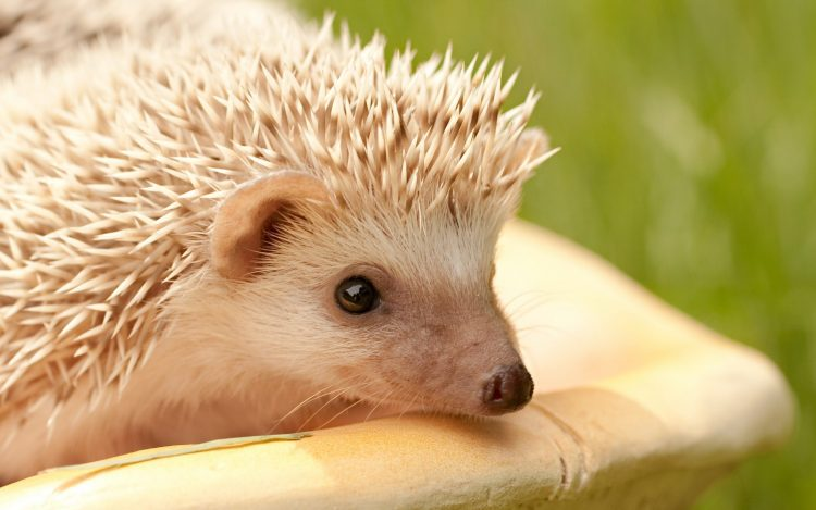 Hedgehog Museau Eyes épines