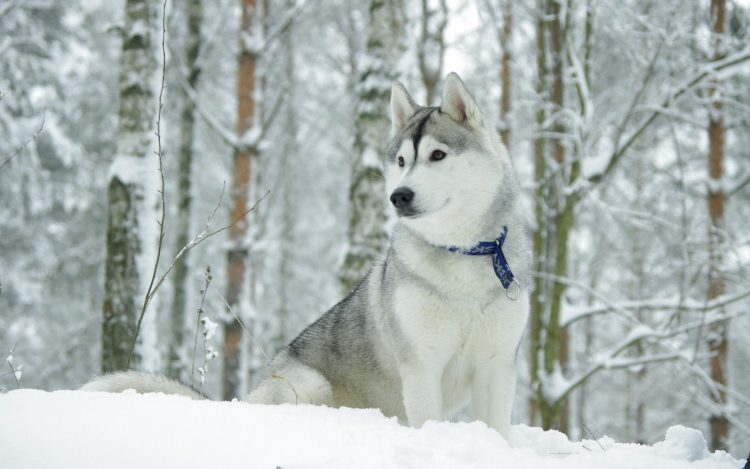 Husky chien collier Neige Chasse