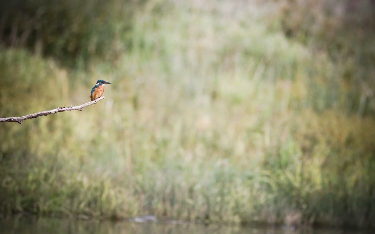Kingfisher Oiseau Branche Assieds
