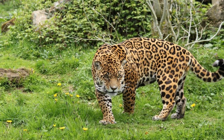 Leopard Herbe Marcher