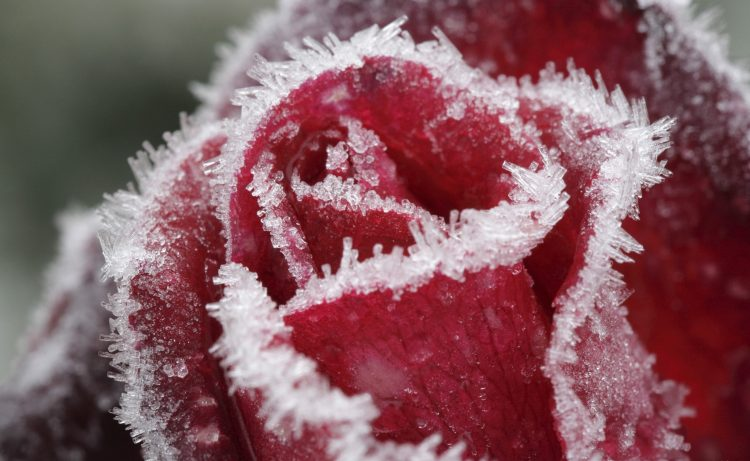 rose, glace, rouge