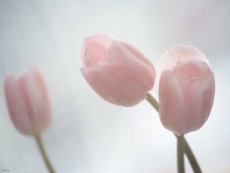 tulipes, rose, tendresse